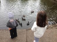 watching ducks swim