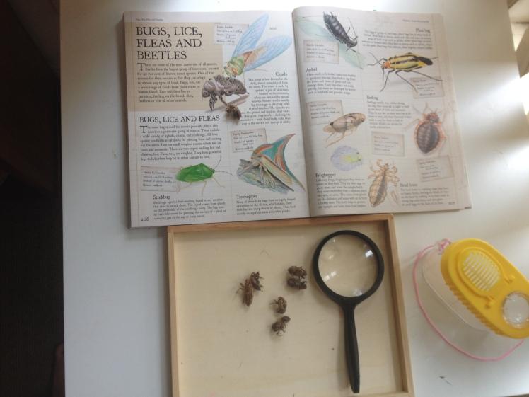 Ciccada shells