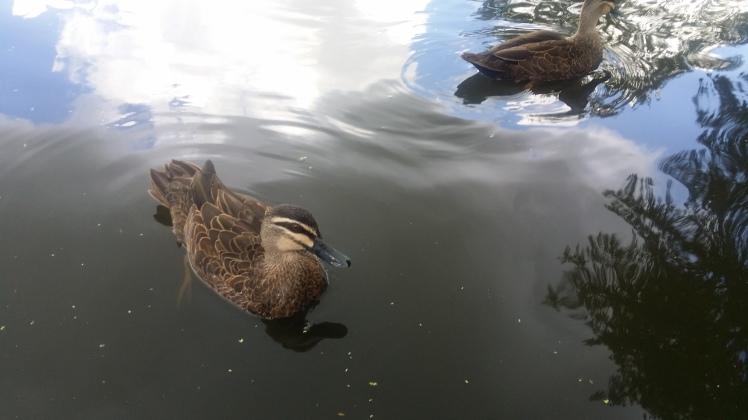 ducks swimmin at the lake