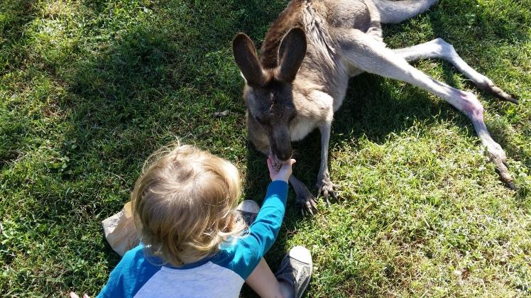 feeding kangaroos at 3.5 years