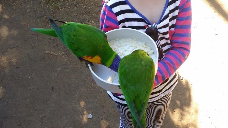 feeding rainbow lorikeets at 5.5 years