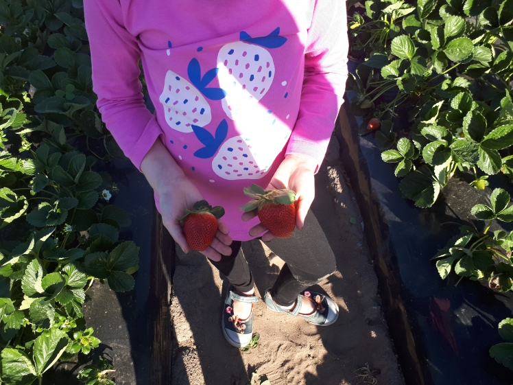 Strawberry picking at a farm