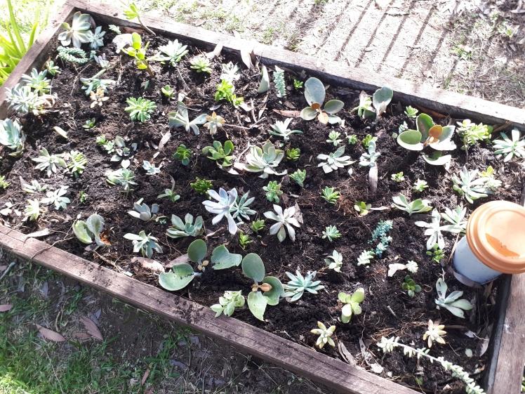 Childrens Garden- Succulent 2 (1)